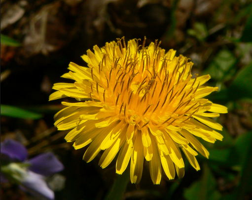 Weeds that Heal - Dandelion
