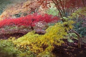 japanese-maple-512945_640