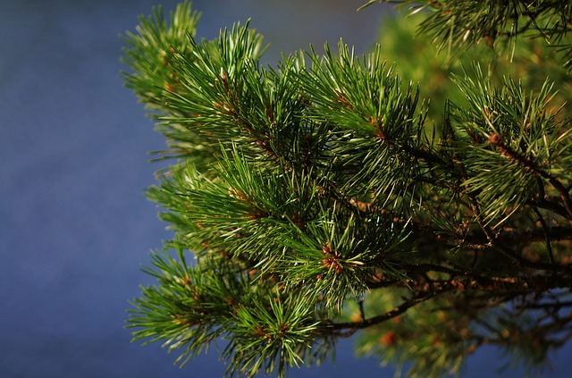 11 Unexpected Survival Uses For Christmas Trees