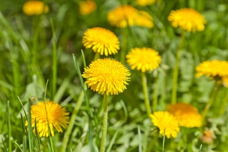 10 Benefits Of Dandelions