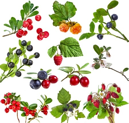 7 Wild Berries Essential For Survival