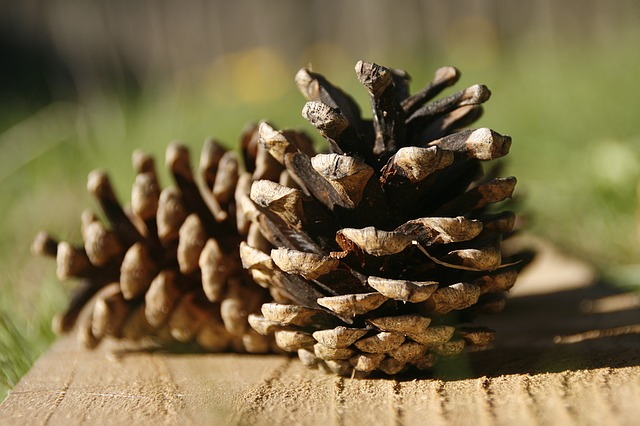 survival uses for pine cones survival frog blog