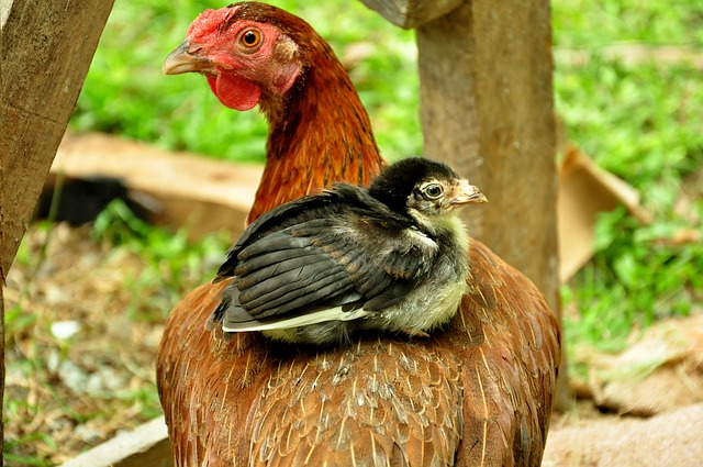 Why Chickens Are the Best Animal To Raise For Survival