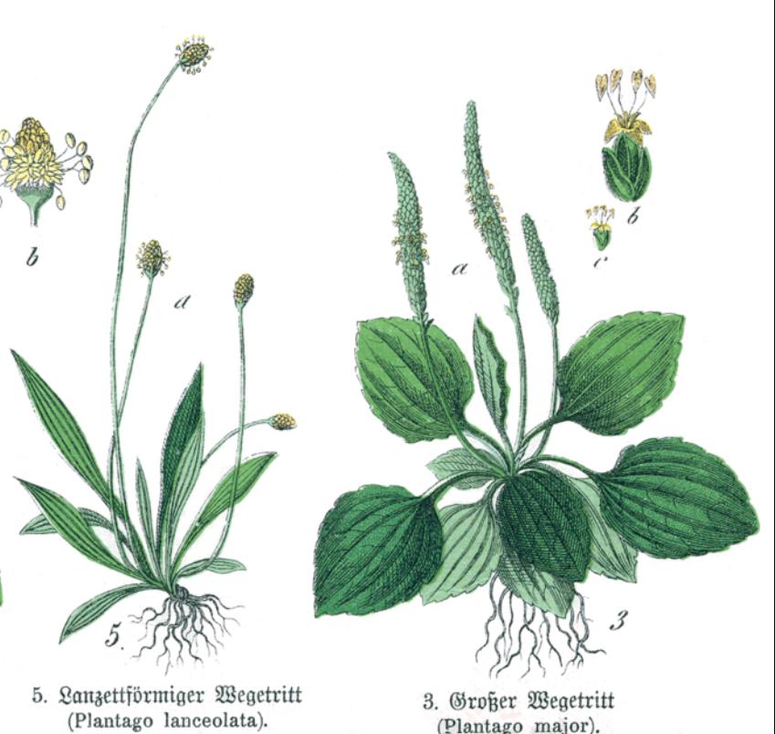 plantain diagram
