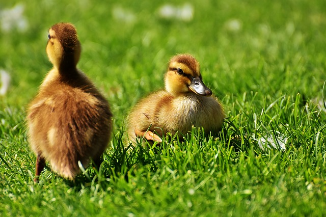 Why Preppers Should Raise Ducks for Survival