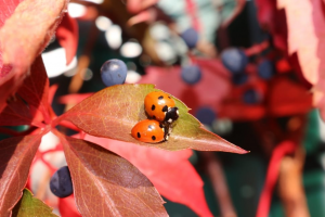 Ladybugs on a plant